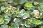 English Winter Thyme