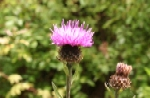 Lssr Knapweed