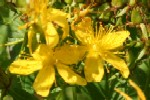 Perforated St John's Wort