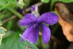 Sweet Purple Violet