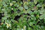 Ivy Leaved Water Crowfoot