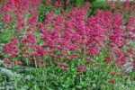 Wild flower shop buy native wild flower seed packets online tall naturalised perennial with glaucus leaves and pink to deep red flowers from may to september prefers dry well drained and sunny sites mightylinksfo