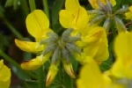Horseshow Vetch
