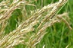 Yellow Oat Grass
