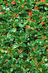 Native british trees and hedging native slow growing prickly evergreen tree suitable for hedging with dark green prickly leaves acting as a good security hedge white flowers from june mightylinksfo